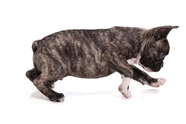 白い表面に立っているフレンチブルドッグの子犬