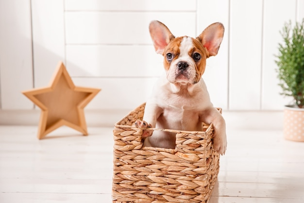 French bulldog puppy stands inside of a wicker basket