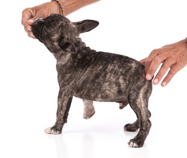 프랑스 불독 강아지 격리 훈련에 대 한 명령을 받고