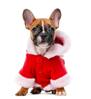 French bulldog puppy wearing a santa coat in front of a white