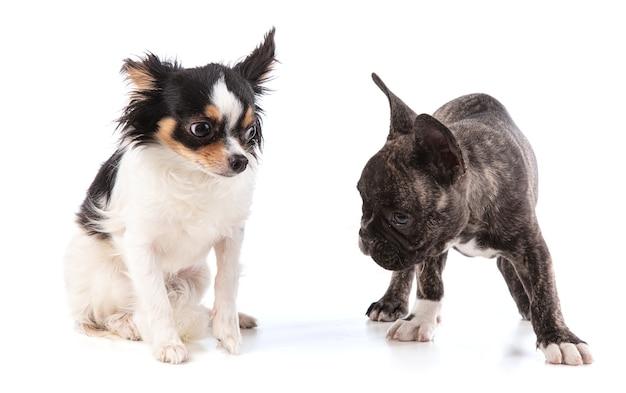白い表面にチワワとフレンチブルドッグの子犬