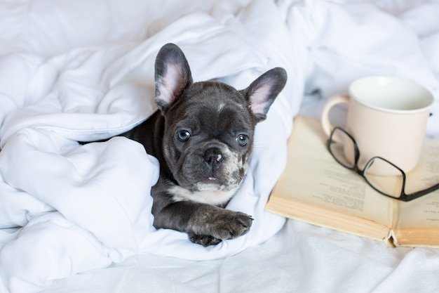A french bulldog puppy with glasses is lying at home on the bed under the blanket with a book