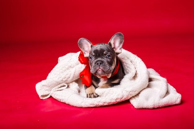 레드에 고립 된 격자 무늬에 싸여 프랑스 불독 강아지
