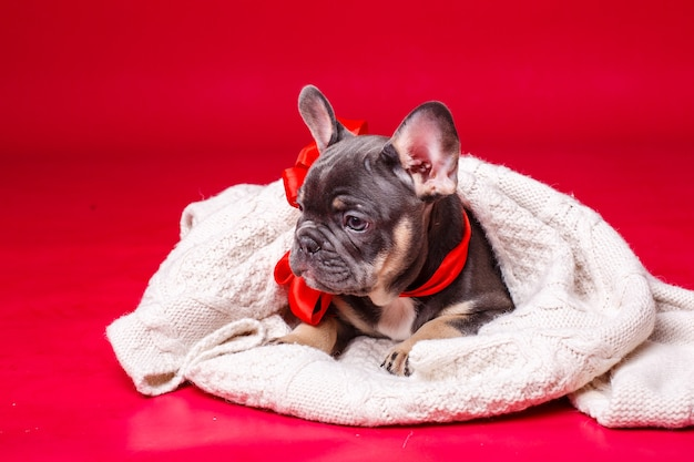 French bulldog puppy wrapped in plaid isolated on red