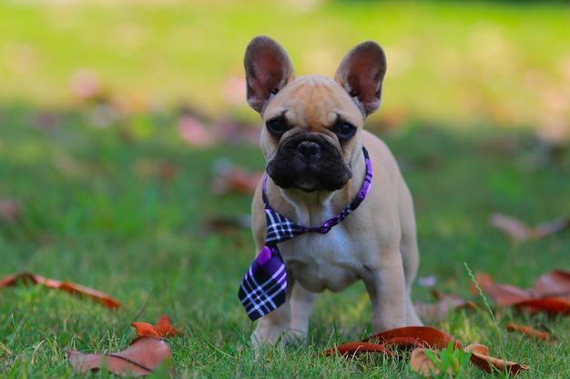 French bulldog,puppy,