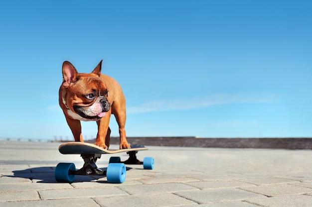 French bulldog riding on the longboard
