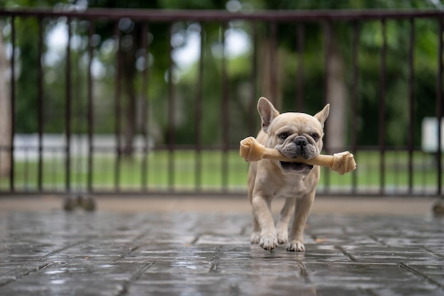 French bulldog running with rawhide bone in his mouth.