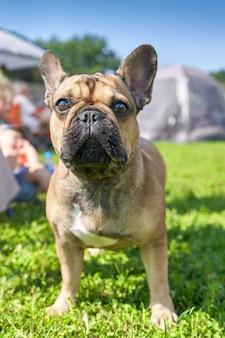 マスティフタイプの犬のフレンチブルドッグショートヘアの品種のクローズアップ