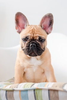 French bulldog sits on a chair looking at the camera. dog waiting for food in the kitchen