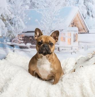 Французский бульдог, сидя на фоне зимнего пейзажа, портрет