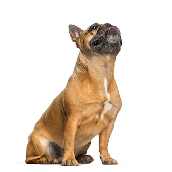 French bulldog sitting in front of white surface