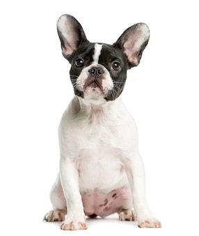French bulldog sitting in front of a white wall