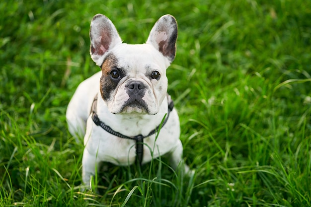 French bulldog sitting on green grass outdoors