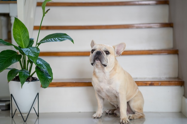 Французский бульдог сидит в помещении с растением в горшке