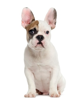 French bulldog sitting and looking at the camera isolated on white