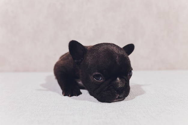 French bulldog sitting looking at viewer with reflection