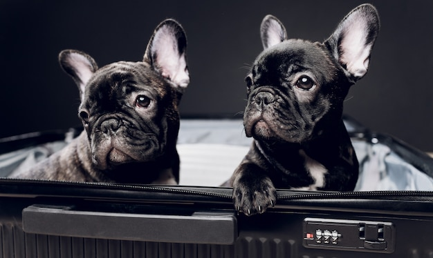French bulldog sitting on the luggage ready for travel.