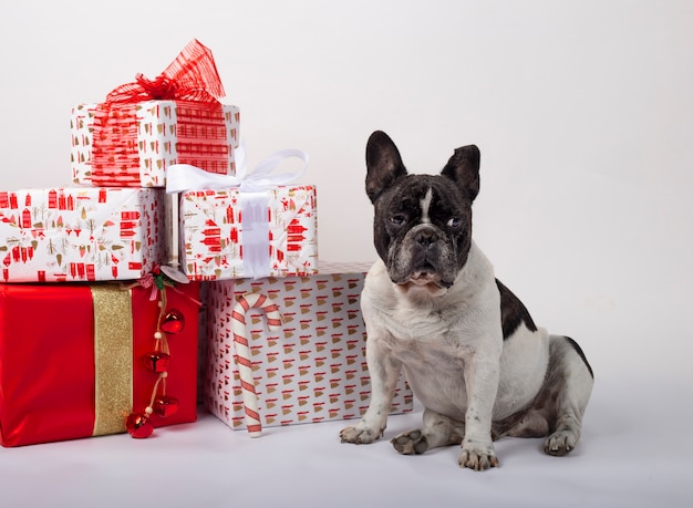 French bulldog sitting with christmas gift boxes