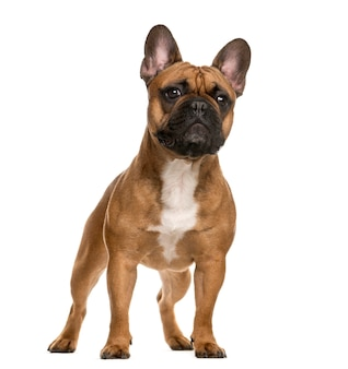 French bulldog standing in front of a white wall