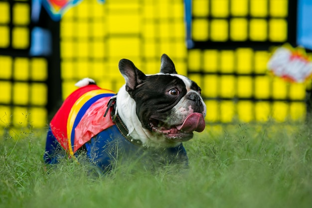 French bulldog in a superhero custom