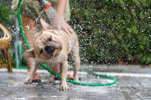 French bulldog take shower