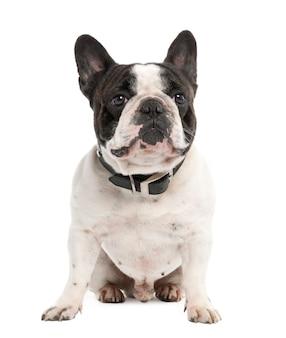 2歳のフレンチブルドッグ。分離された犬の肖像画