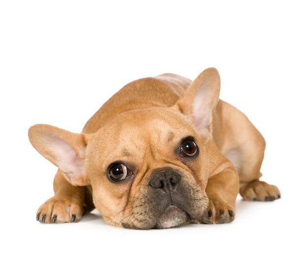 Французский бульдог с 7 мес. портрет собаки изолированный