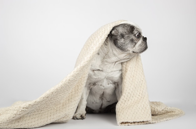 French bulldog wrapped in blanket sitting and looking off to the side on a white background