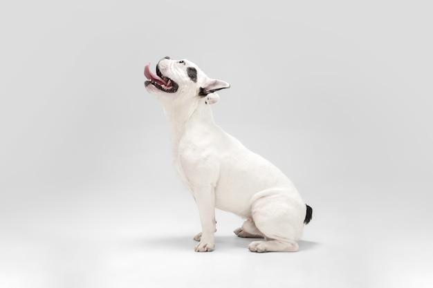 프렌치 불독 어린 개는 흰색 바탕에 귀엽고 장난기 가득한 흰색과 검은색 개를 포즈를 취하고 있다