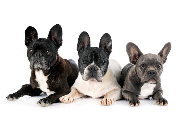 French bulldogs in front of white background