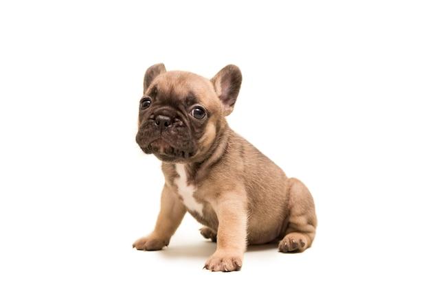 흰색 배경에 대해 프랑스 엷은 황갈색 불독 강아지입니다. 귀여운 작은 강아지.