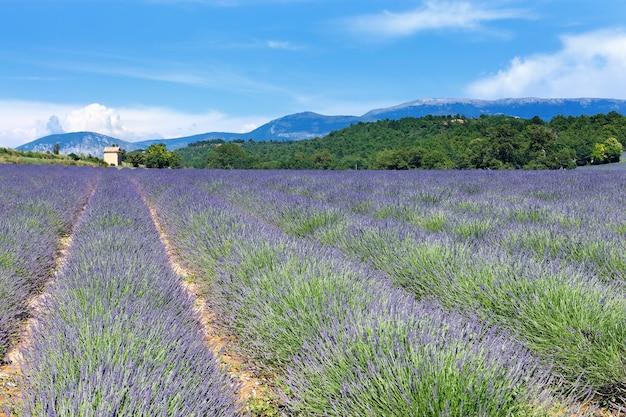 フランスのラベンダー畑