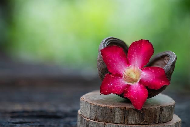 Fresh adenium flower on nature surface.
