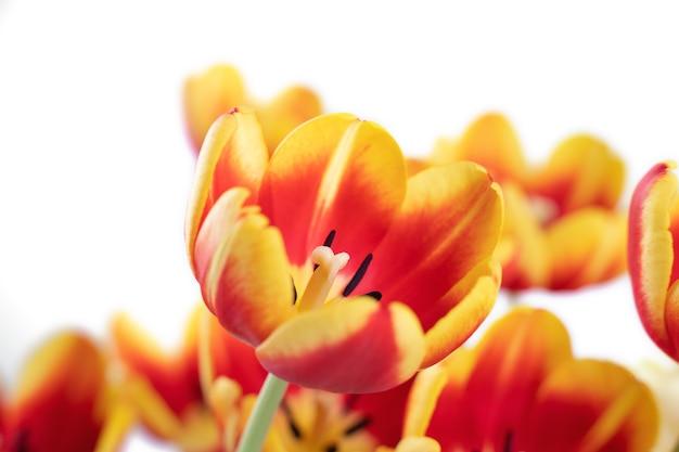 新鮮で美しい赤と黄色のチューリップが白い背景で隔離、母の日の春の花のコンセプトのクローズアップ。