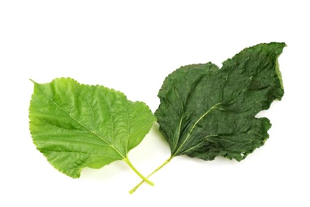 Isoated свежие и сушеные листья шелковицы на белом
