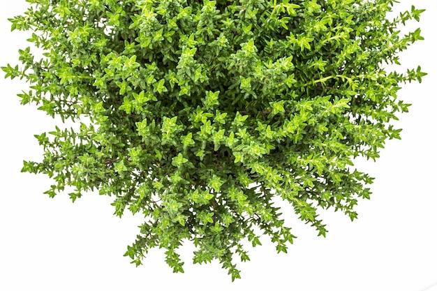 Свежий и сырой тимьян (thymus vulgaris). цветочный горшок, изолированные на белом фоне. вид сверху.