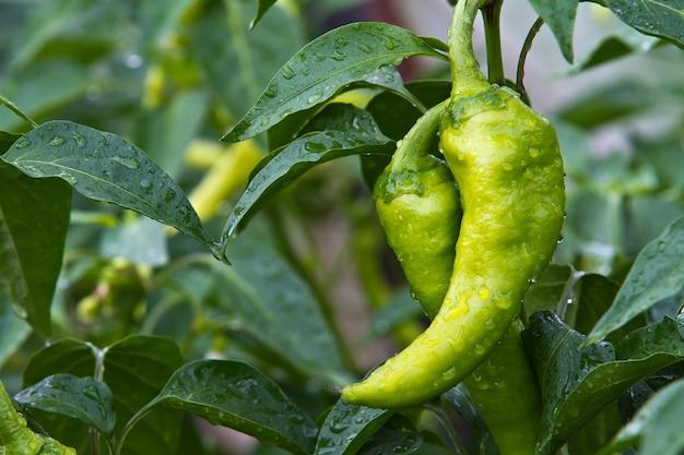집 정원에서 자란 신선하고 맛있는 피망 파프리카. 비타민과 맛이 가득.