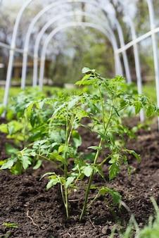 봄에 마을의 온실 내부 정원 침대에 심은 신선하고 어린 토마토 모종