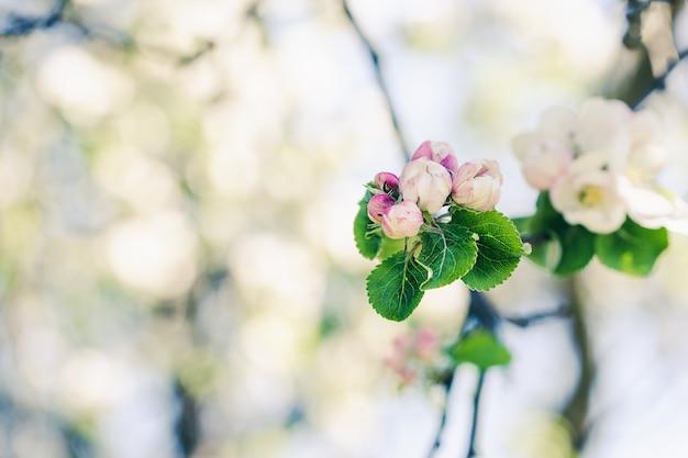 정원에서 흰 꽃 봉 오리와 신선한 사과 나무 가지. 봄 개념, 복사 공간