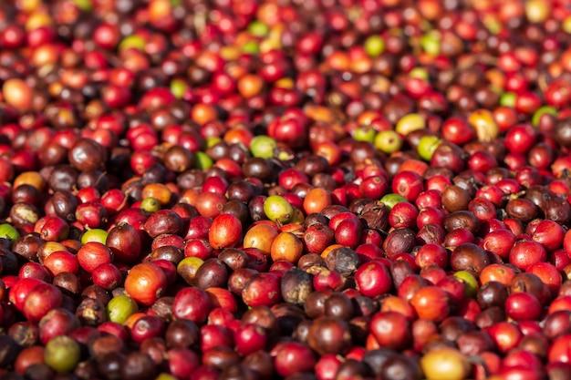 신선한 아라비카 커피 열매. 유기농 커피 농장