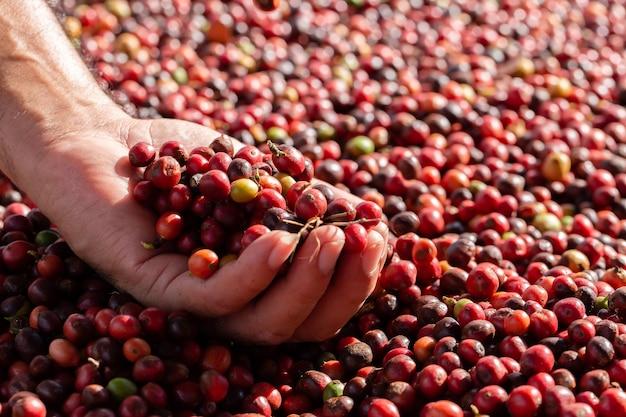 新鮮なアラビカコーヒーの果実。有機コーヒー農園