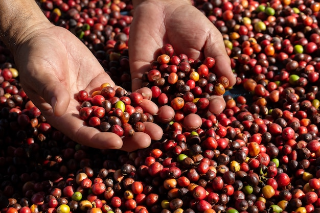 Fresh arabica coffee berries