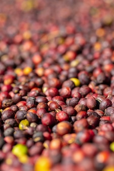 Fresh arabica red coffee beans berries and drying process.