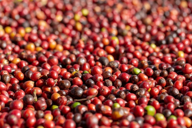 Fresh arabica red coffee beans berries and drying process
