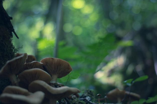 Fresh armillaria mellea mushrooms in dark forest