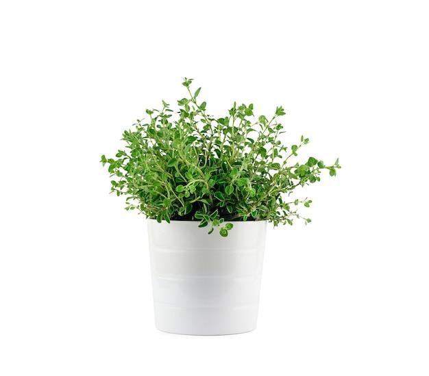 白い背景の上の鍋に新鮮な芳香のオレガノは、芳香族ハーブ、家庭菜園のコンセプトを分離しました。高品質の写真