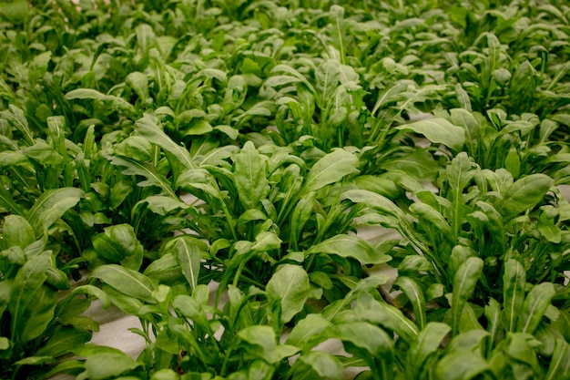 新鮮なルッコラの葉、クローズアップ。レタスサラダ植物、水耕野菜の葉