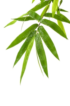 Fresh bamboo leaves with water drop isolated on white background.