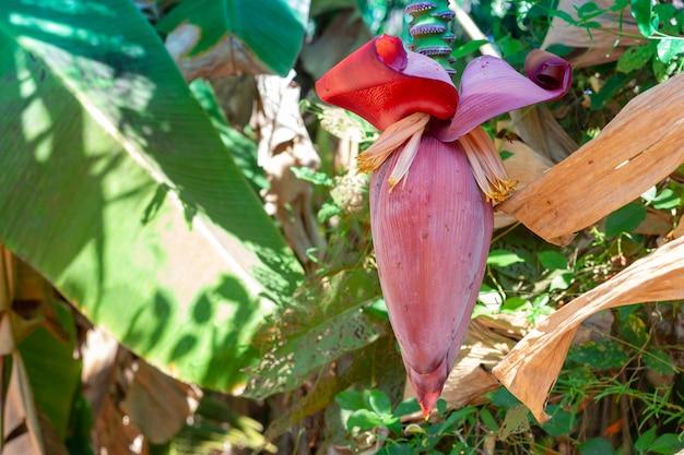 The fresh banana blossom on banana tree