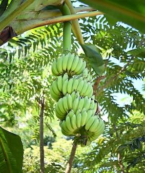 태국의 과수원에 있는 나무에 신선한 바나나를 나눠주고 있습니다. 과일에는 비타민이 들어 있습니다.